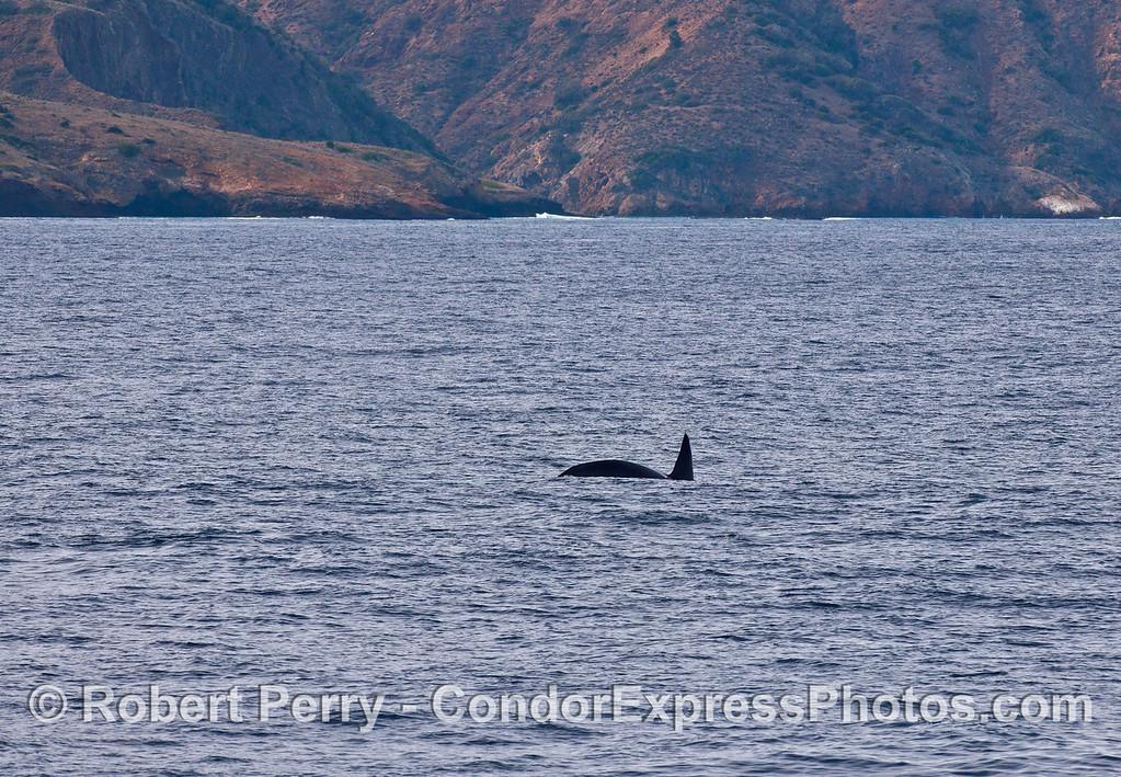 Biggs (transient) killer whale, male at Santa Cruz Island.