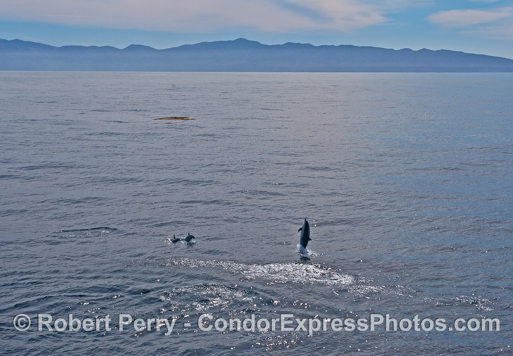 "A short-beaked common dolphin is seen ""tail walking"" with Santa Cruz Island in back."
