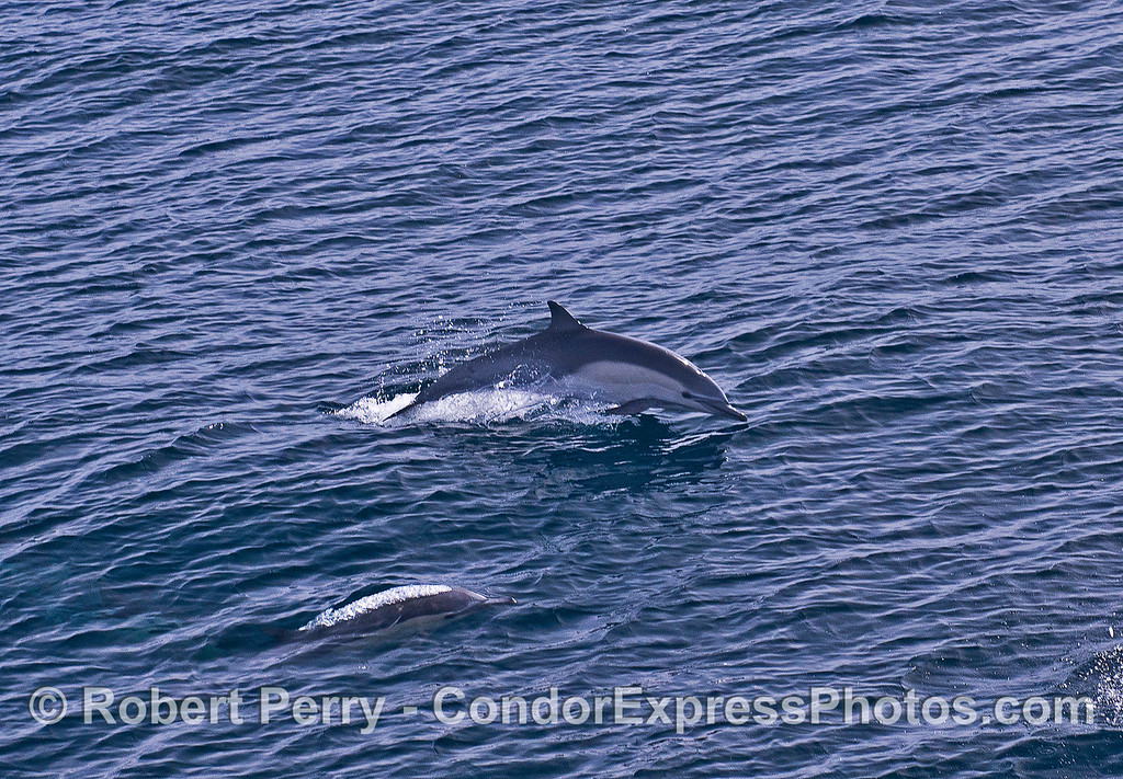 Short-beaked common dolphins.