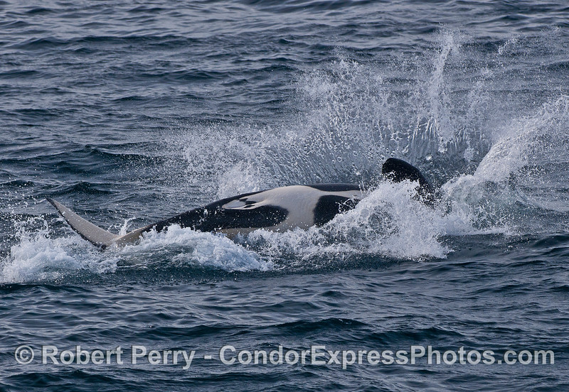 A Biggs (transient) killer whale leaps and lands on its back.
