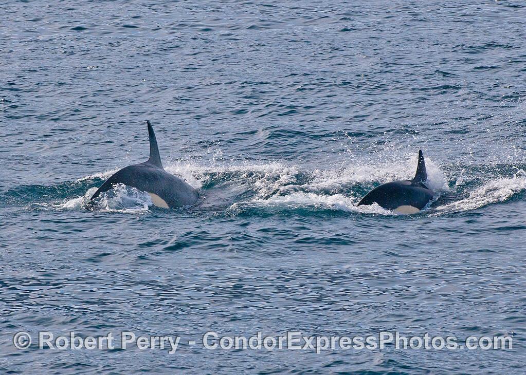 Biggs (transient) killer whales.