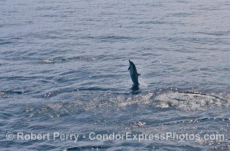Short-beaked common dolphin.