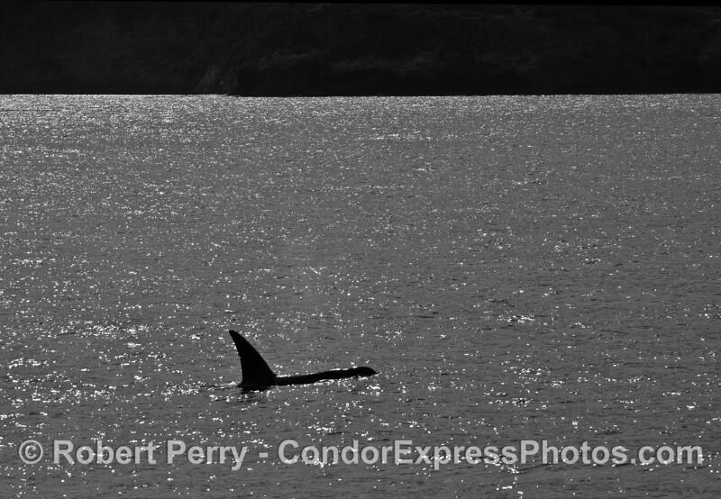 Biggs (transient) killer whale.