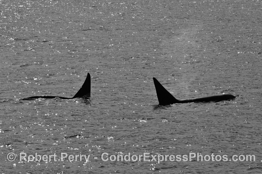 Two male Biggs (transient) killer whales.