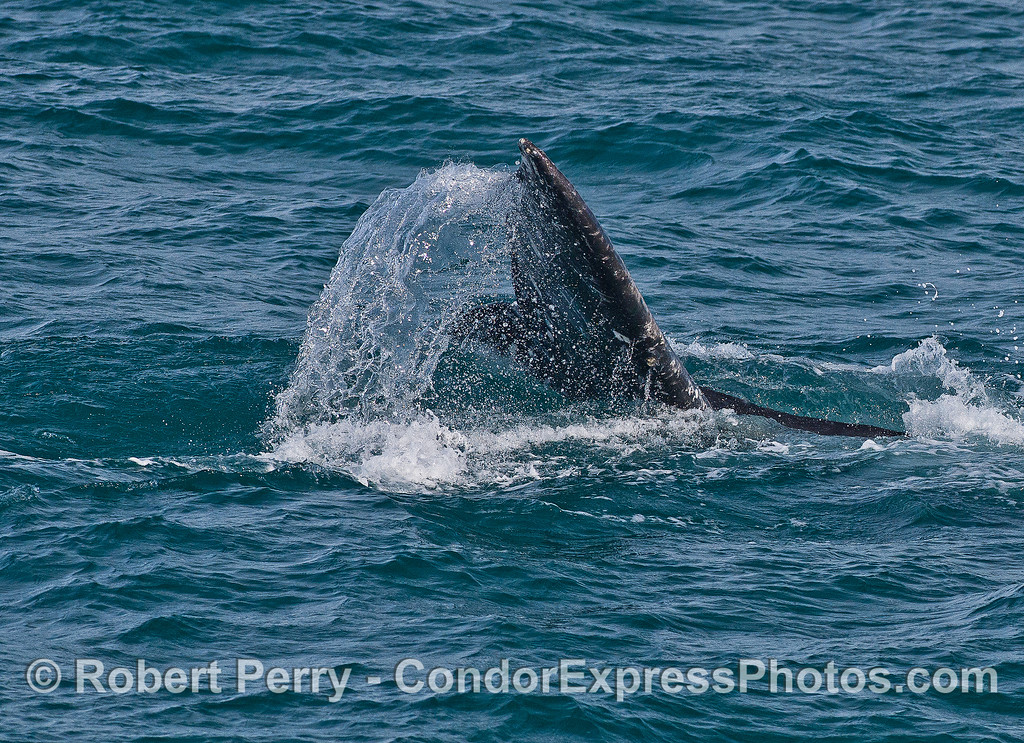 A little tail flare - gray whale.