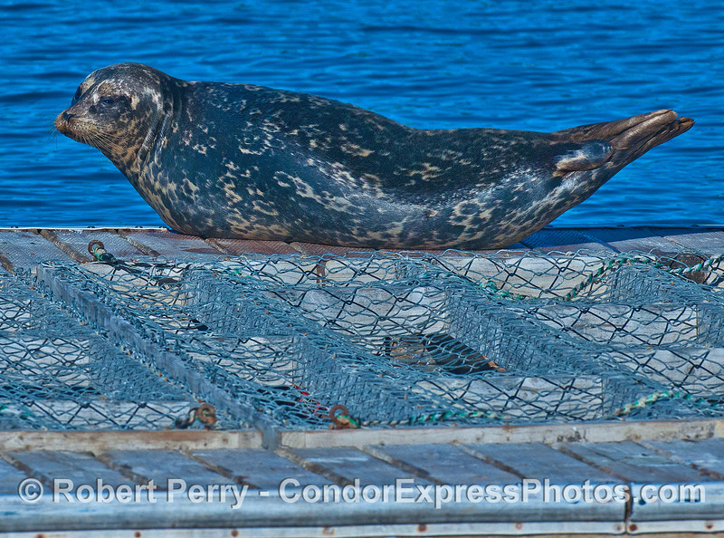 """Pacific harbor seal demonstrates the characteristic """"Phocid arch."""""""