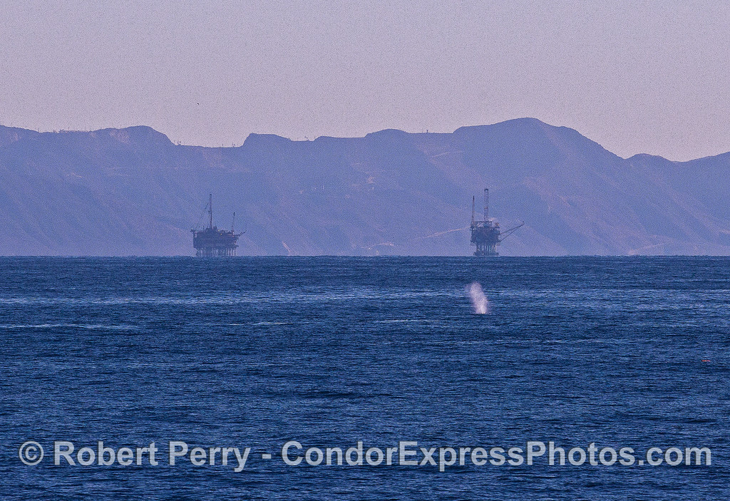 A gray whale spouts with offshore oil platforms in the background.