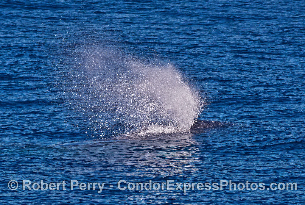 A very bushy spout from a gray whale.