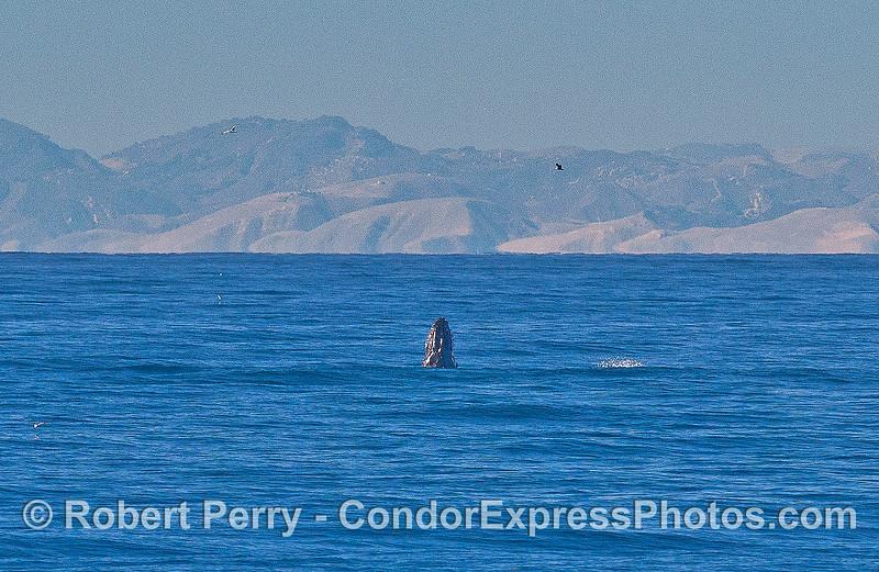 A juvenile humpback whale breaching.