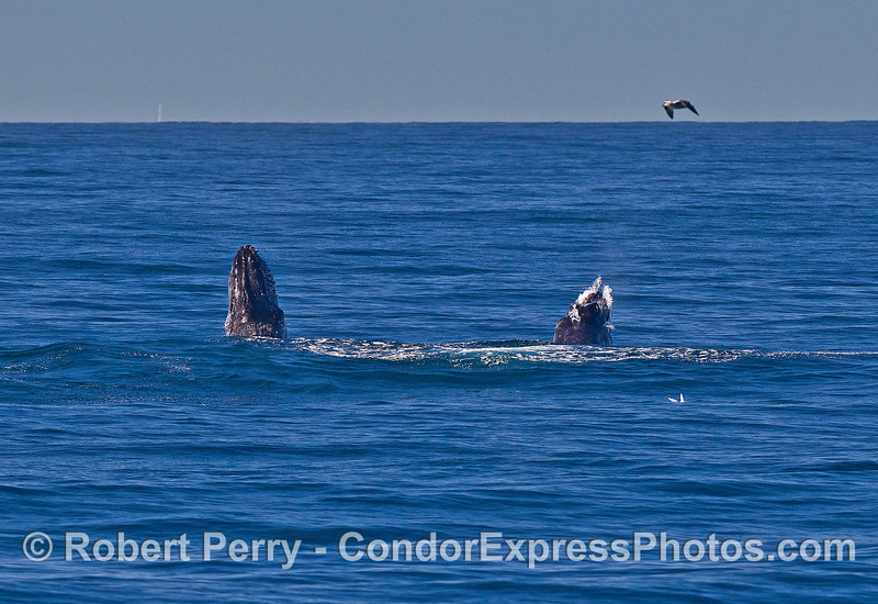Image 4 of 9 in a row:   two humpback whale juveniles are captured breaching side-by-side simultaneously.