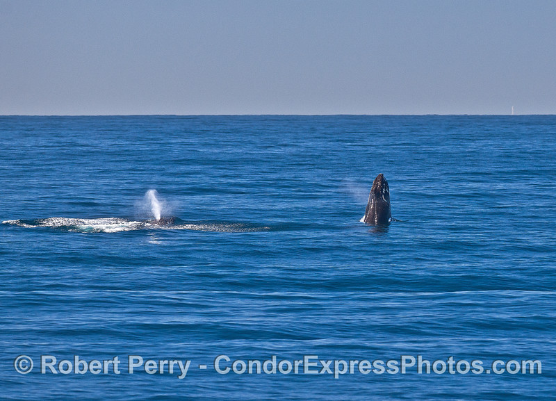 Image 8 of 9 in a row:   two humpback whale juveniles are captured breaching side-by-side simultaneously.