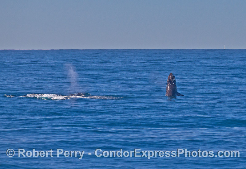 Image 9 of 9 in a row:   two humpback whale juveniles are captured breaching side-by-side simultaneously.