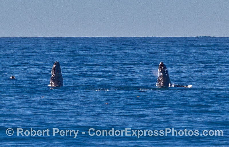 Image 7 of 9 in a row:   two humpback whale juveniles are captured breaching side-by-side simultaneously.