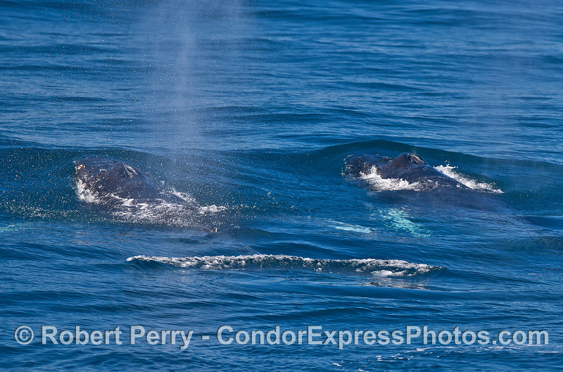Two juvenile humpback whales swim side-by-side.