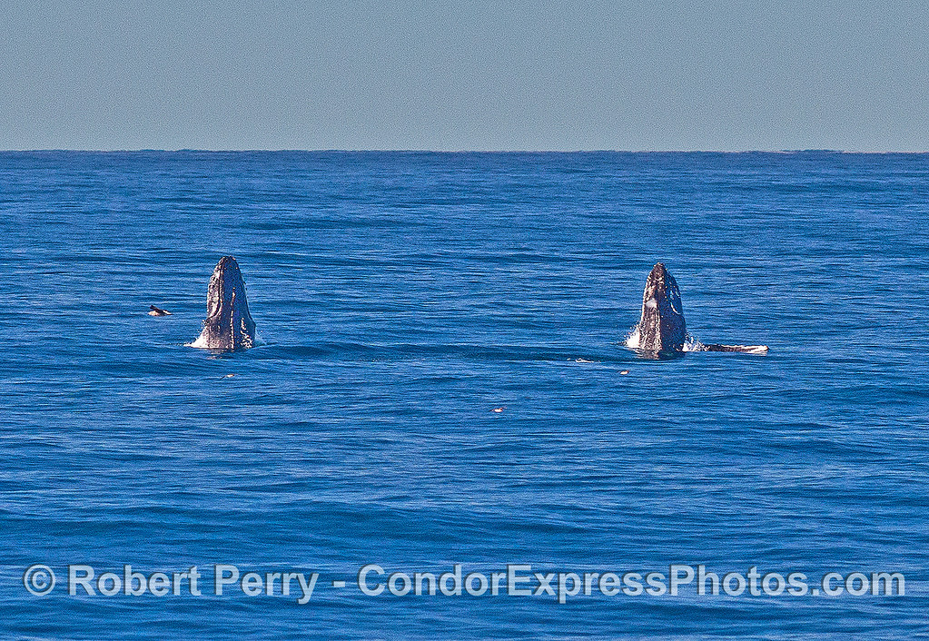 Image 5 of 9 in a row:   two humpback whale juveniles are captured breaching side-by-side simultaneously.