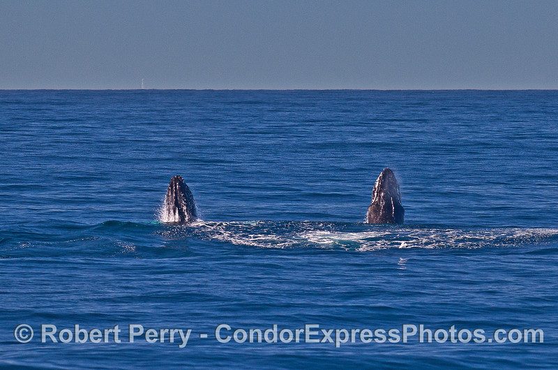 Image 3 of 9 in a row:   two humpback whale juveniles are captured breaching side-by-side simultaneously.
