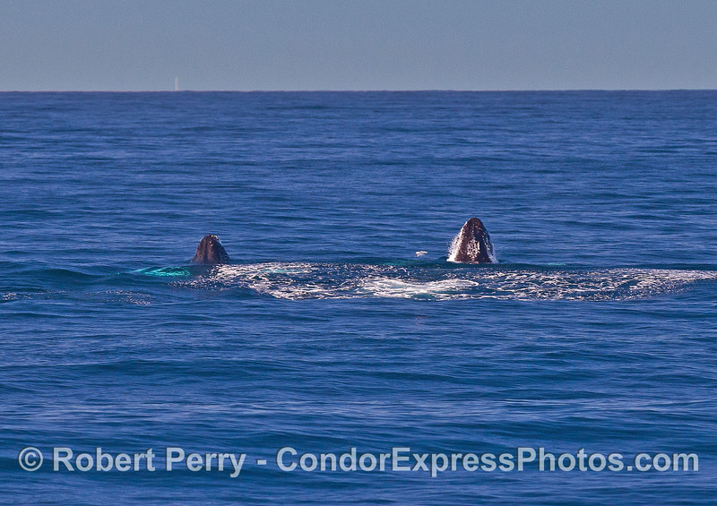 Image 1 of 9 in a row:   two humpback whale juveniles are captured breaching side-by-side simultaneously.