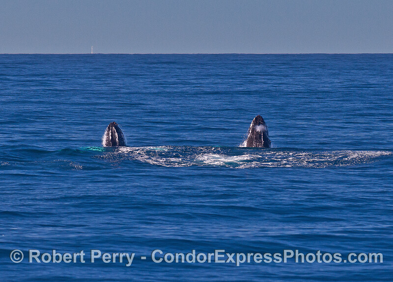 Image 2 of 9 in a row:   two humpback whale juveniles are captured breaching side-by-side simultaneously.