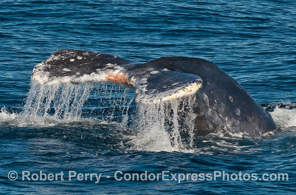 Image 2 of 3:  gray whale tail fluke sequence.