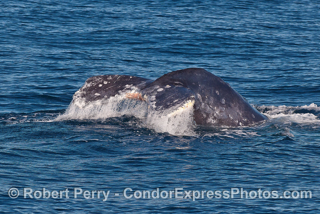 Image 1 of 3:  gray whale tail fluke sequence.
