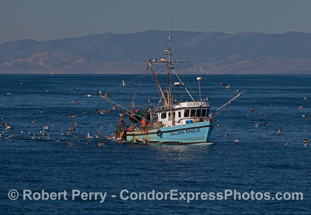 "Bottom trawler with a cadre of seabirds feeding on its ""sustainable"" by-catch."