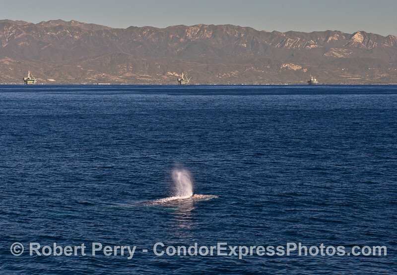 A gray whale swims east in the Santa Barbara Channel with the offshore oil platforms in the background.