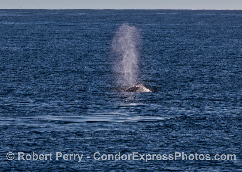 A spouting gray whale leaves surface footprints behind.