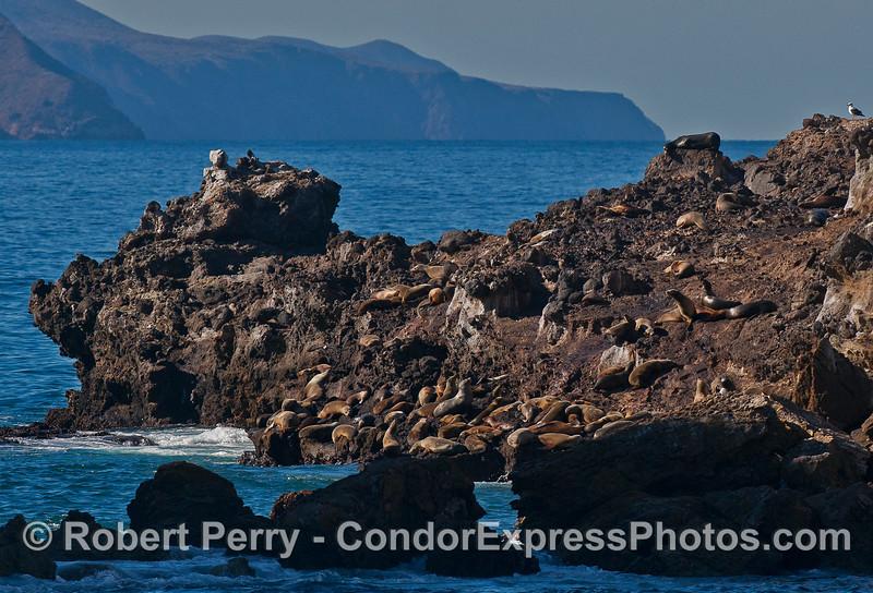 Potato Rock, Santa Cruz Island, with over 70 California sea lions hauled out in the sun.