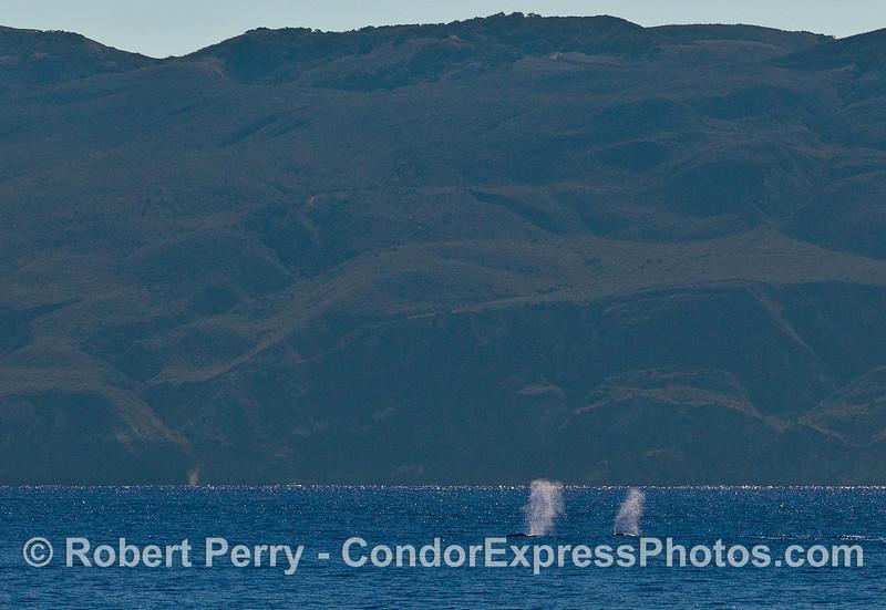 Twin gray whale spouts - eastern end of Santa Cruz Island.
