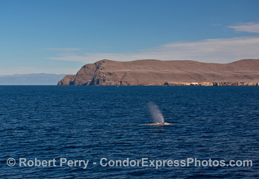 The bold western end of Santa Cruz Island provides a backdrop for southbound migrating gray whales.