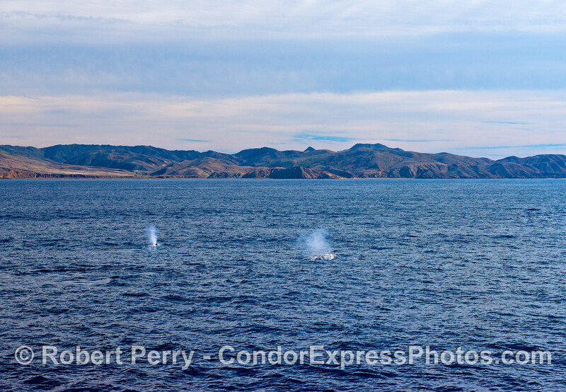 Two gray whales with Santa Cruz Island in the back.