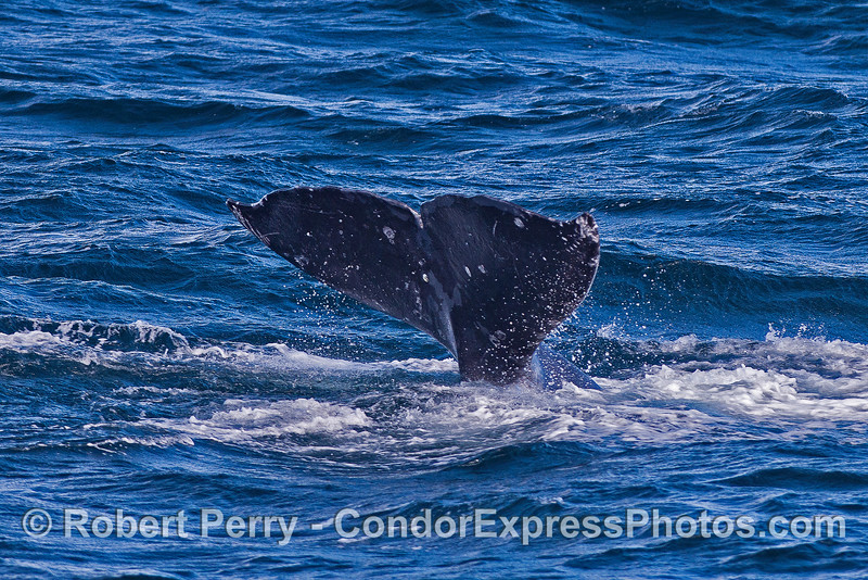 Gray whale tail.