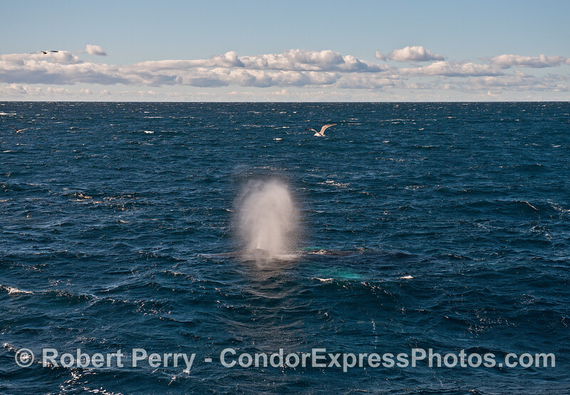 A windy day and a humpback, with white pectoral fins glowing under the water, spouts.