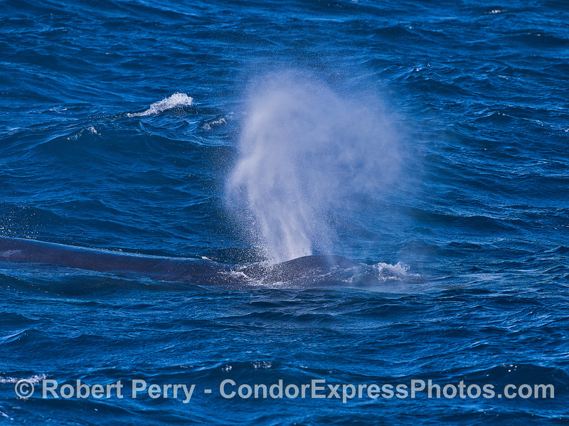 Humpback spouting in the wind.