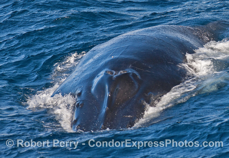 Headshot - humpback whale.
