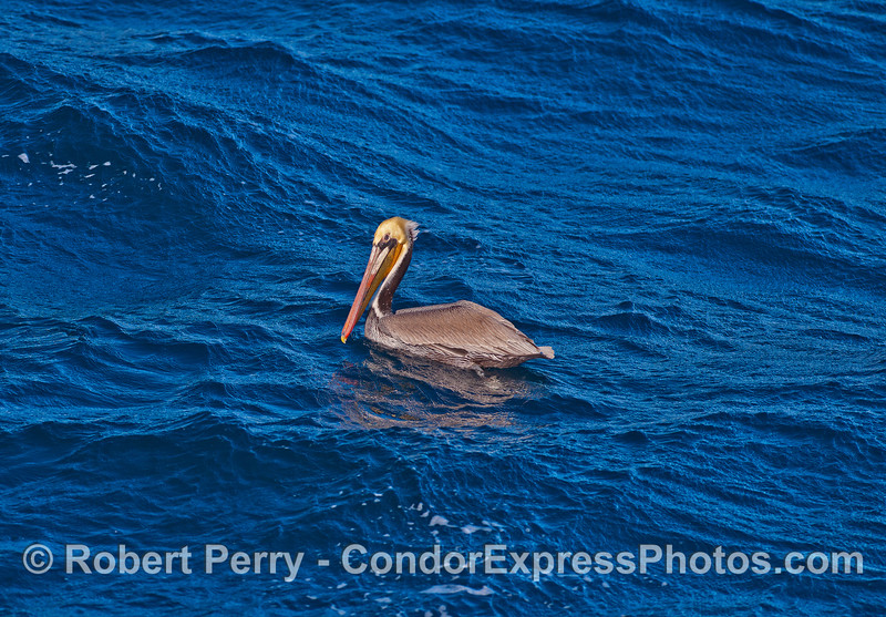 Brown pelican and blue water.