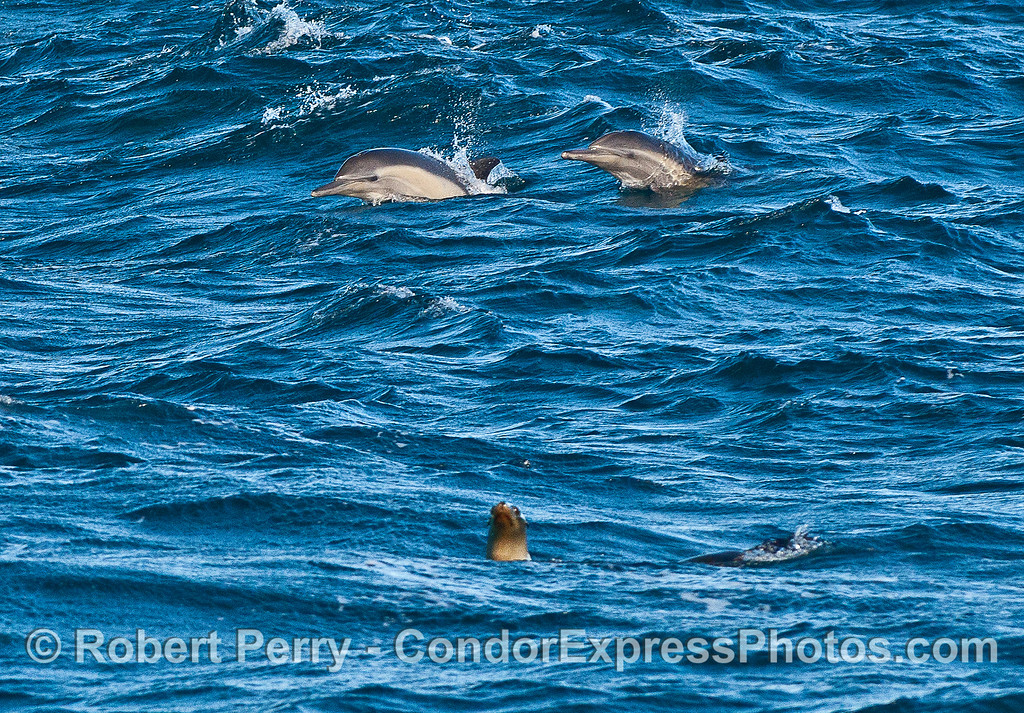 Trio of curious sea mammals.   Long-beaked common dolphins in back and a California sea lion in front.