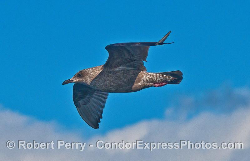 Juvenile gull in flight.