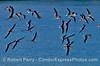 Part of a flock of black skimmers taking flight near West Beach, Santa Barbara.