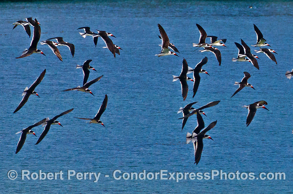 Part of a flock of black skimmers taking flight near West Beach, Santa Barbara.