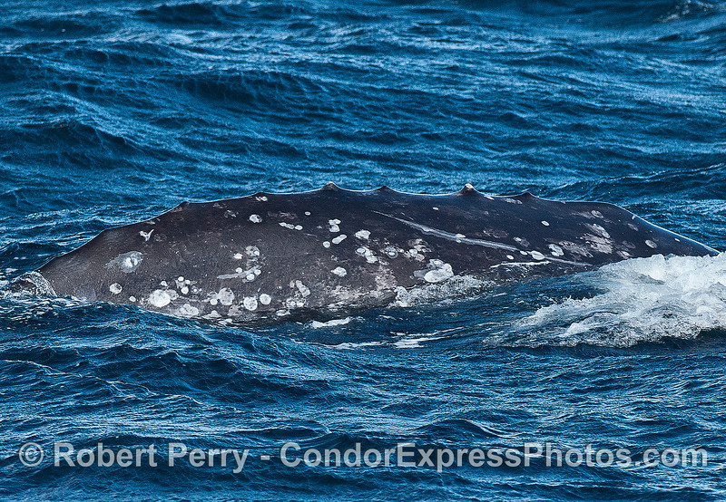 The dorsal ridges of a gray whale.