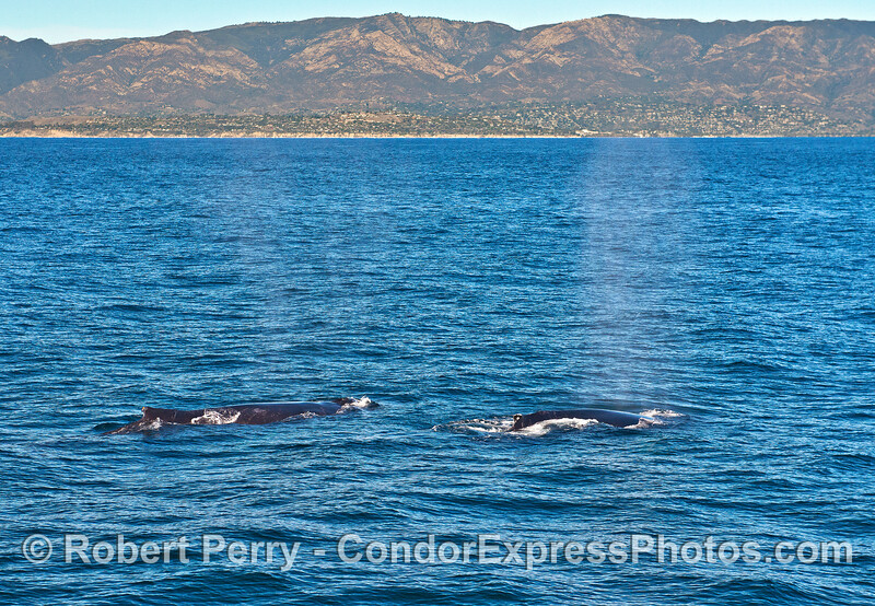 Dual humpbacks.  Santa Barbara coastline in back.