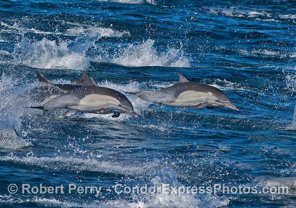 Bodies and spray flying high. Long-beaked common dolphins stampede.
