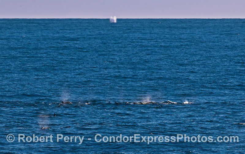 All spouts, large and small.  In back, a humpback whale spout.  In front, many spouts from common dolphins.