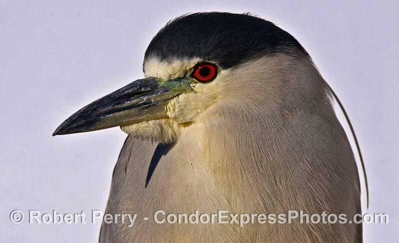 """Pete,"" the black-crowned night heron sits for a portrait in the early morning light at the docks, Santa Barbara Harbor."
