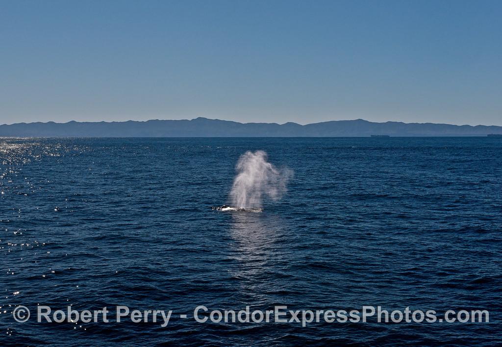 Mega-spout; humpback whale.  Santa Cruz Island in back.