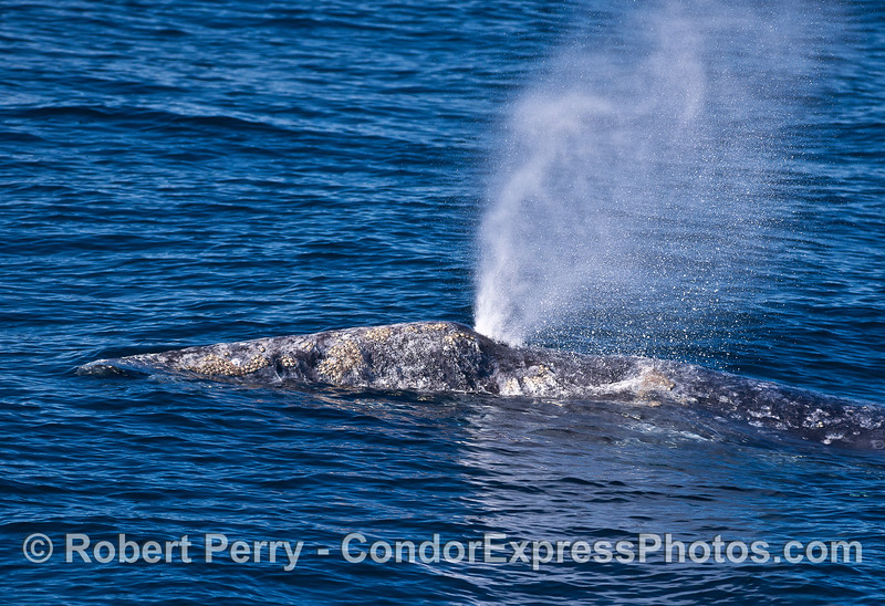 Close up look at the head and spout of a gray whale.