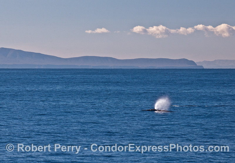 Gray whales with Santa Cruz Island (left) and Santa Rosa Island (right edge) in the back.