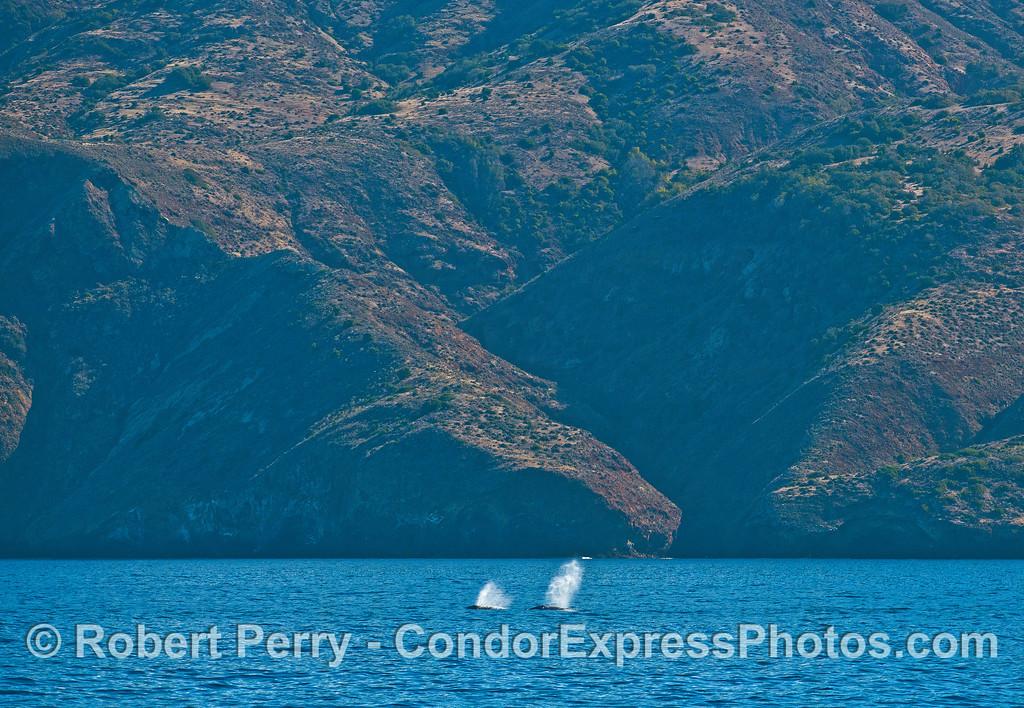 Twin gray whale spouts close to Santa Cruz Island.