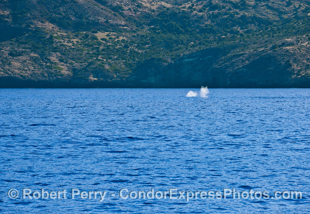 Two gray whale spouts along the northern sea cliffs of Santa Cruz Island.